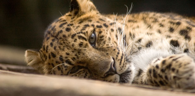 amurski-leopard1
