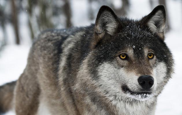 Dok su gubici stoke koji se pripisuju vukovina nesporni, napadi na čovjeka nikada nisu dokazani. Sigurni dokazi da je zdravi vuk napao čovjeka nikada nisu podastrti, niti u sjevernoj Americi, niti u Europi.