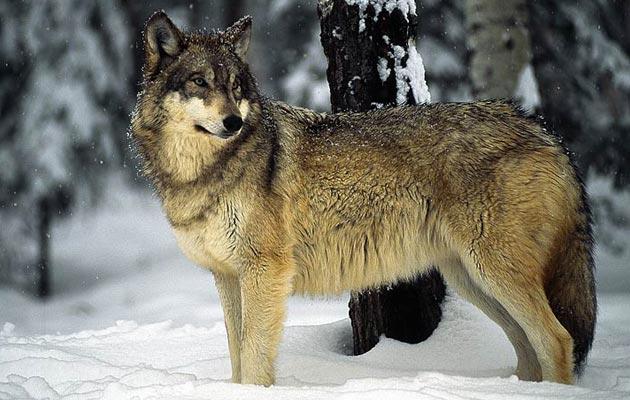 Iako se ponekad može u divljini sresti jednog usamljenog vuka, normalan društveni život vukova odvija se u čoporu. Vučji čopor se u pravilu sastoji od roditeljskog para i njihovih potomaka, dakle, riječ je o obitelj