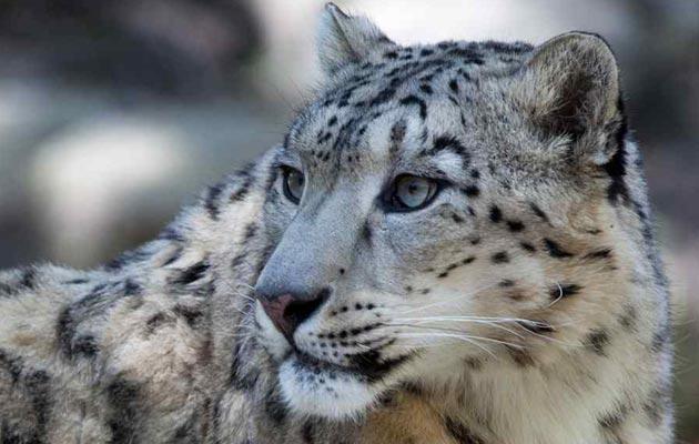 snjezni-leopard