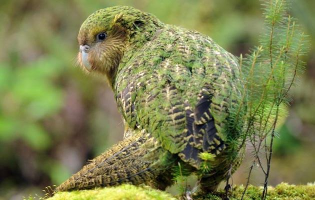 Kakapo (Strigops habroptila), je vrsta papagaja endemičnog za Novi Zeland. Jedinstven je na više načina: jedini je papagaj na svijetu koji ne može letjeti, najteži papagaj, noćni, biljojed je, mužjak brine o mladuncima – a također su i najglasnije ptice na svijetu.