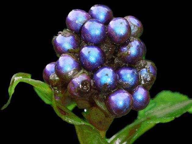 Pollia-condensata-2