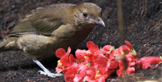 Ptice-vrtlarice-1