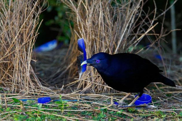Ptice-vrtlarice-3