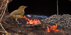 Ptice-vrtlarice