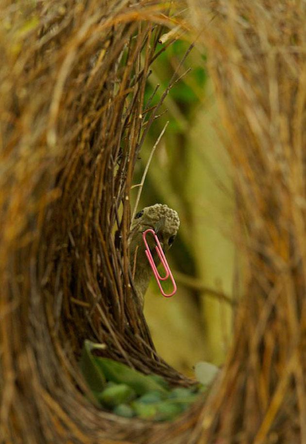 Ptice-vrtlarice-4