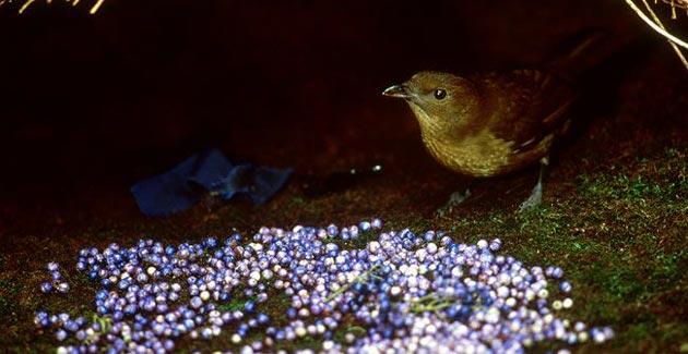 Ptice-vrtlarice-5
