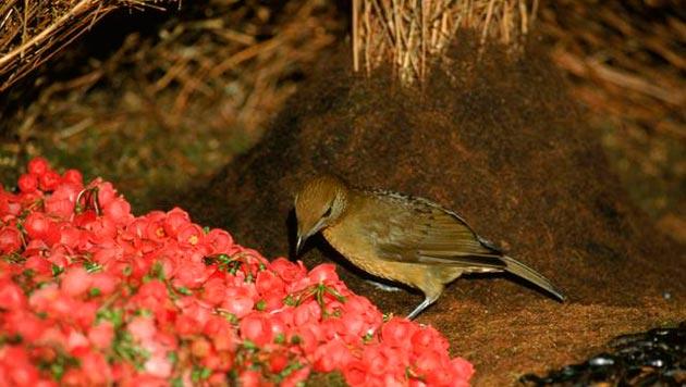 Ptice-vrtlarice-6