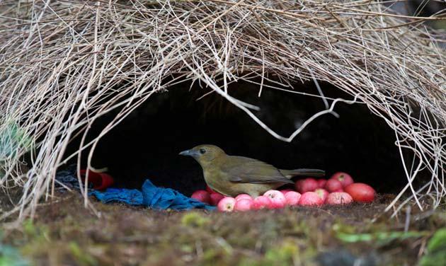 Ptice-vrtlarice-9