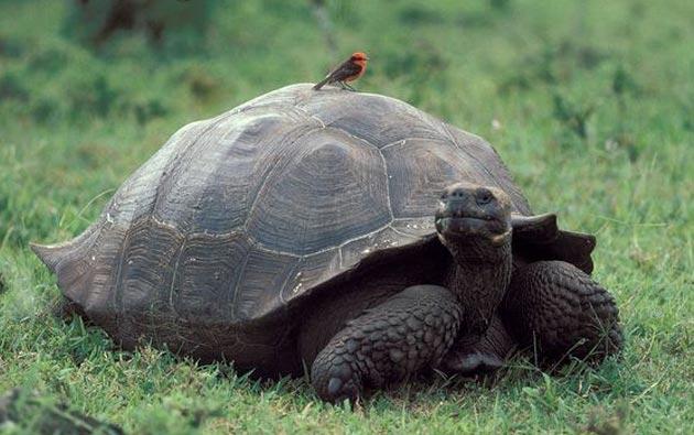gigantska-kornjaca