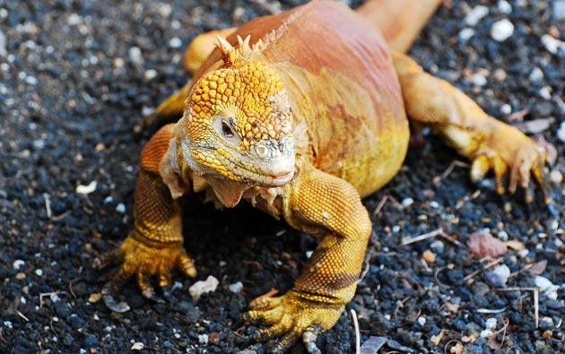 kopnena-iguana-svijetla