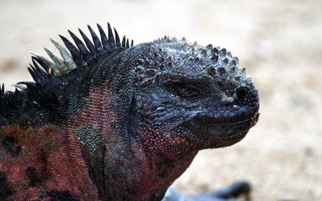 kopnena-iguana
