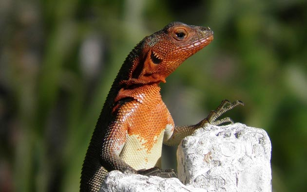 lava-guster-(Tropidurus)