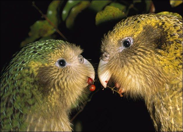 Kakapo-3