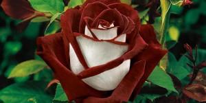 Rosa-Osiria