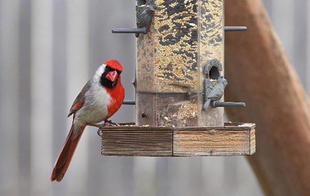 kardinal-1