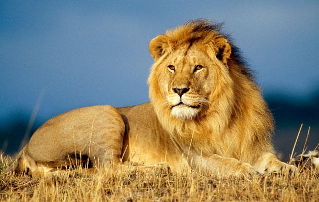 Lavovi sa tamnijom grivom su dominantniji od lavova sa svijetlijom.