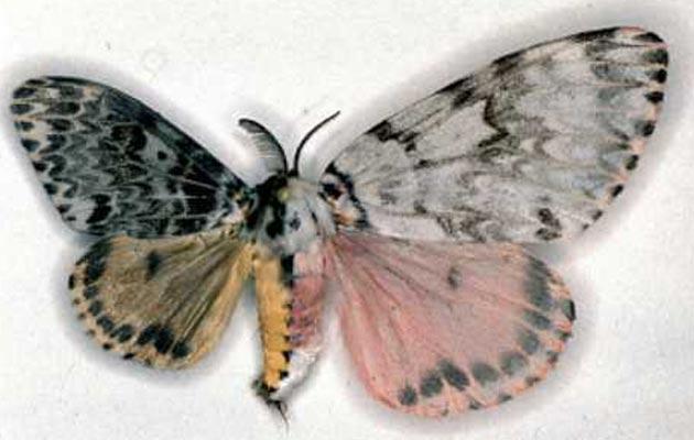 leptirica
