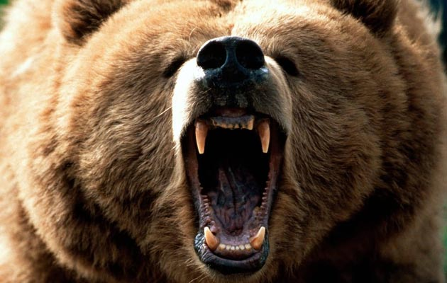 Grizli medvjedi