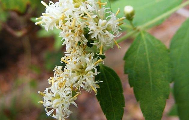 Calea-ternifolia