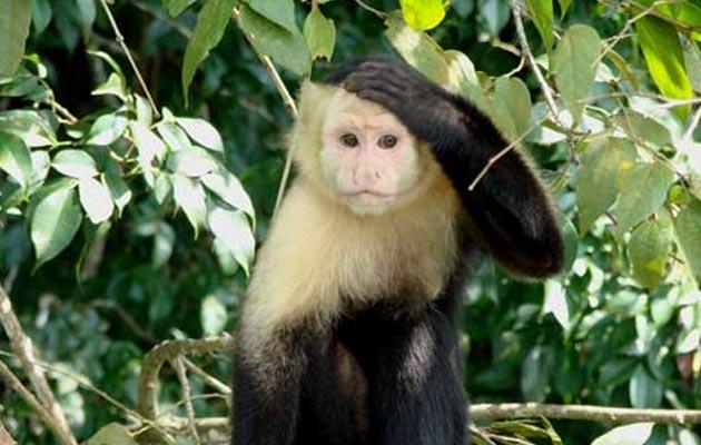 Capuchin-majmun
