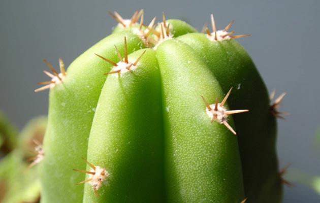 Echinopsis-peruviana