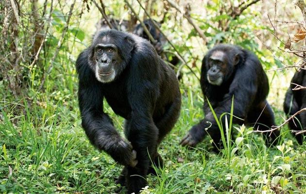 cimpanze