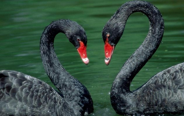 crni-labudovi
