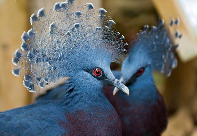 krunasti-golubovi-1