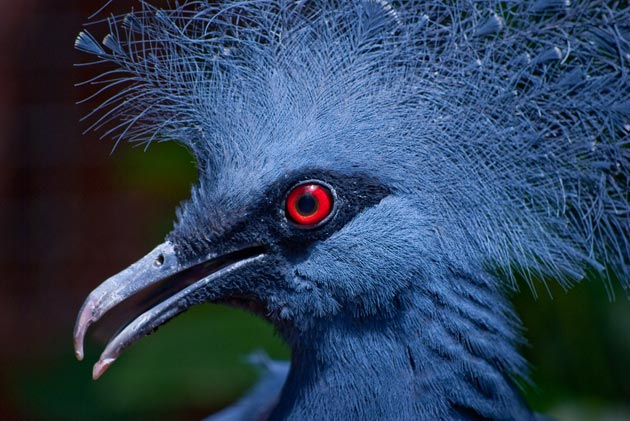 krunasti-golubovi-10