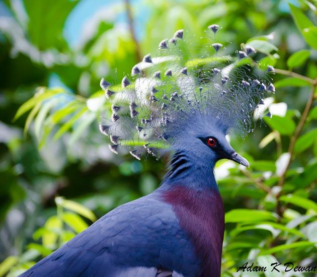 krunasti-golubovi-2