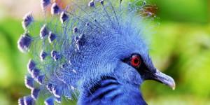 krunasti-golubovi