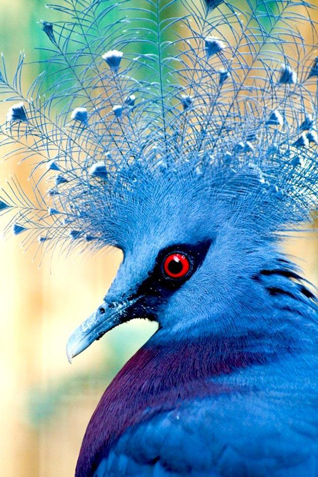 krunasti-golubovi-5