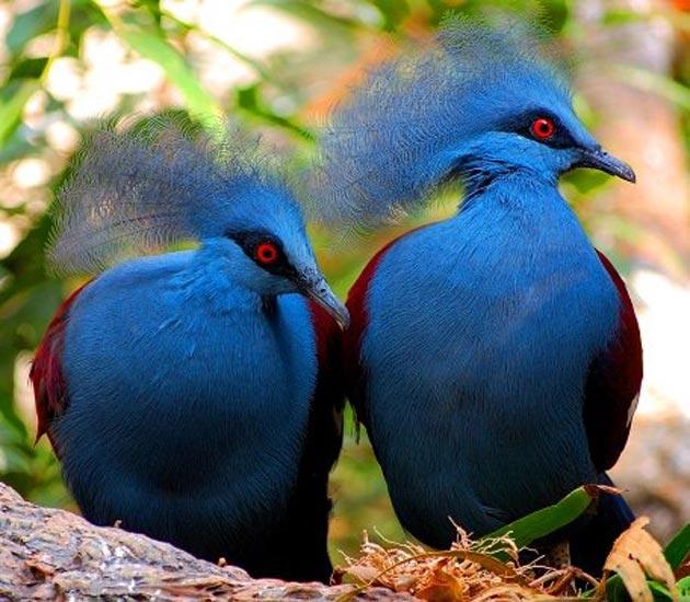 krunasti-golubovi-6