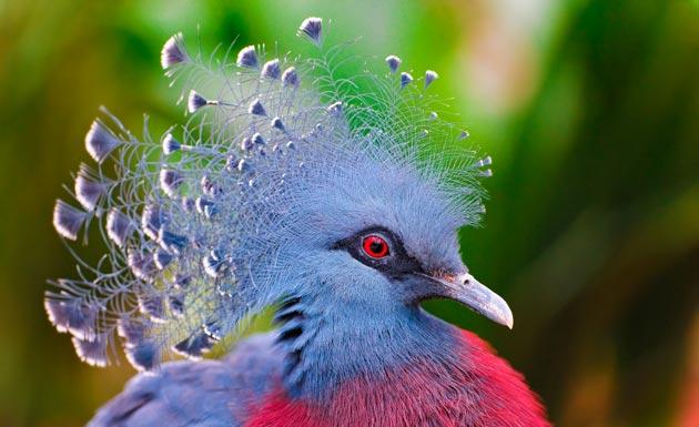 krunasti-golubovi-7
