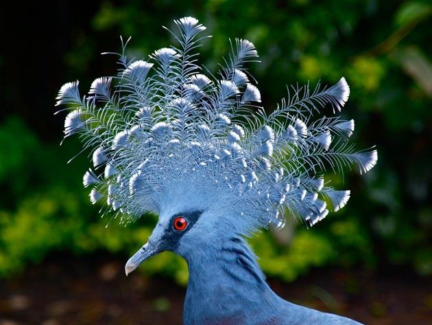 krunasti-golubovi-9