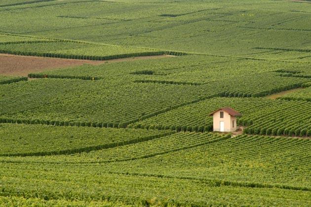 vinograd-11
