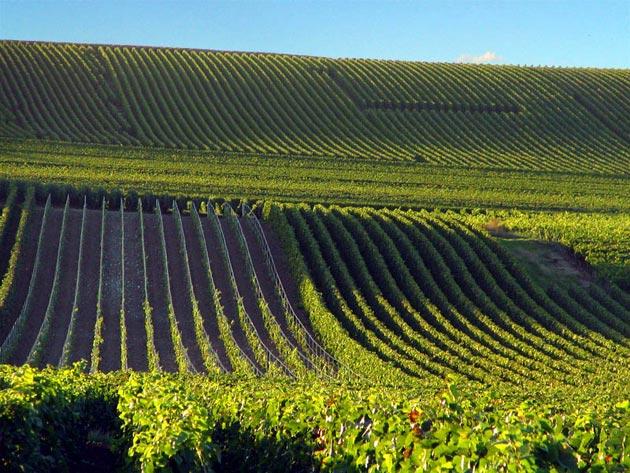 vinograd-13