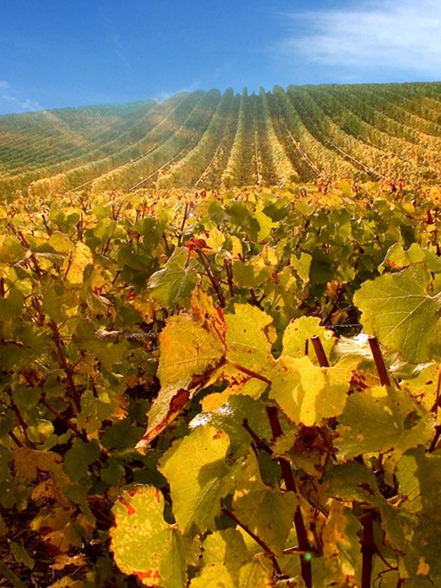 vinograd-15