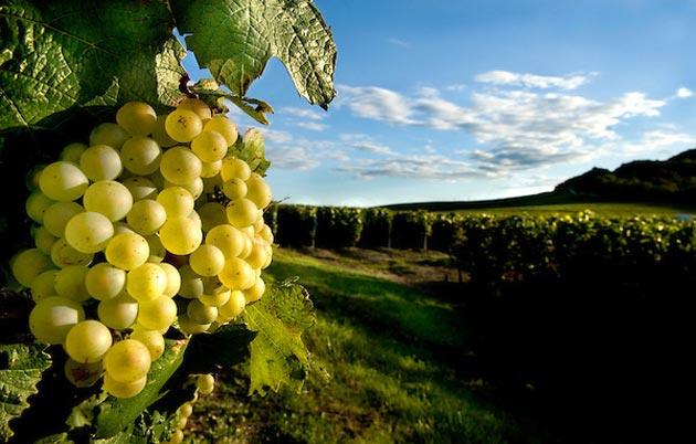 vinograd-4