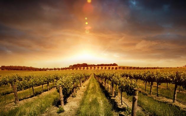 vinograd-8