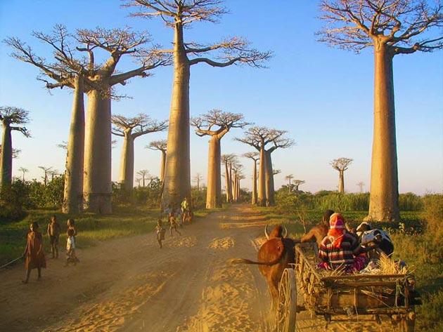 Avenija-Baobaba-7