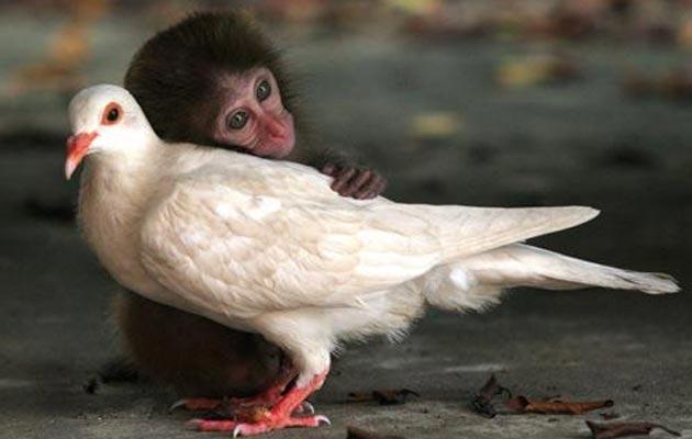 Golub-i-majmun