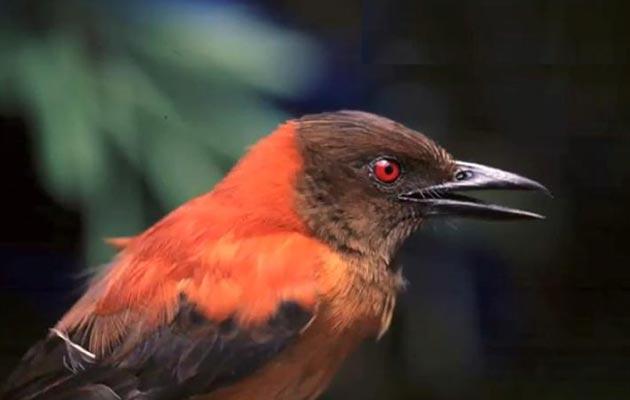 Hooded Pitohui je najotrovnija ptica na svijetu (da, postoje i otrovne ptice).