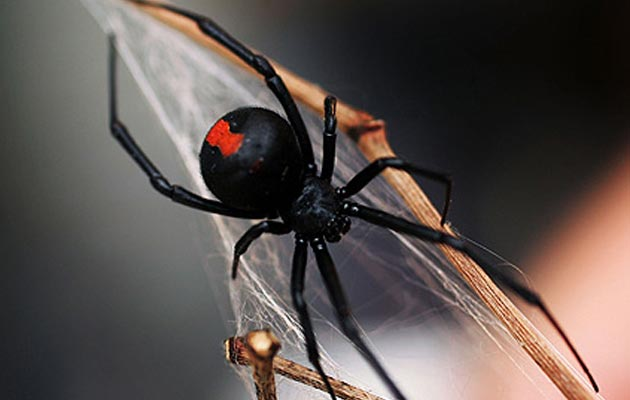 crna-udovica