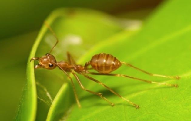 vatreni-mrav