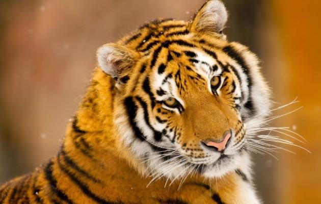 Danas više Sibirskih tigrova živi u zatočeništvu nego u svom prirodnom staništu.