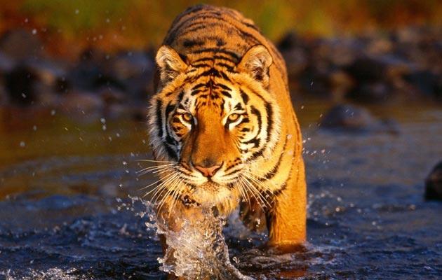 Pruge na krznu tigra su jedinstvene, poput ljudskih otisaka prstiju.