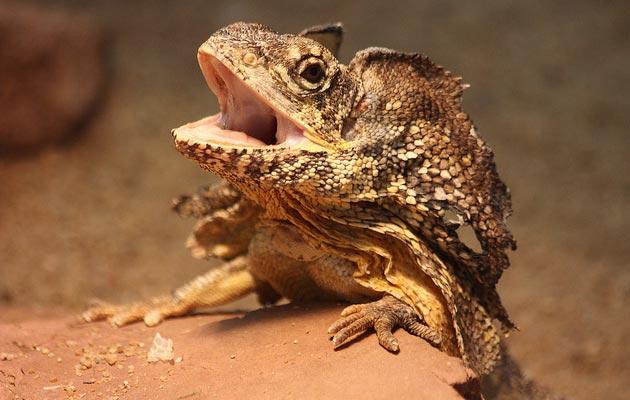 Chlamydosaurus-kingii
