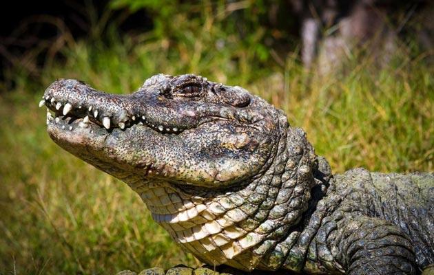 Kineski-aligator